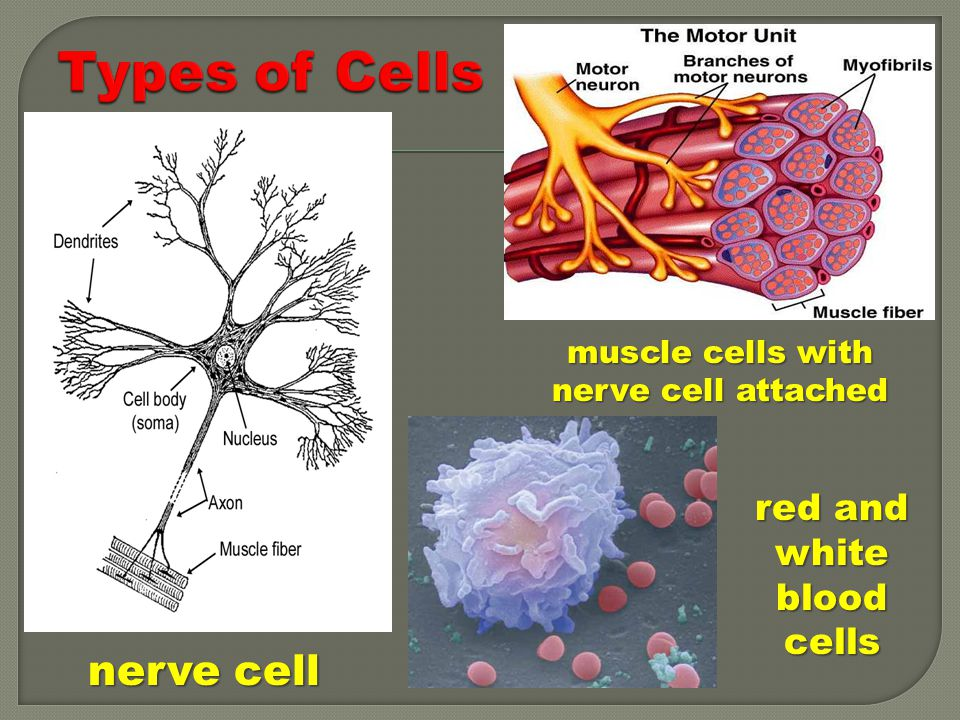 Types of Cells nerve cell red and white blood cells