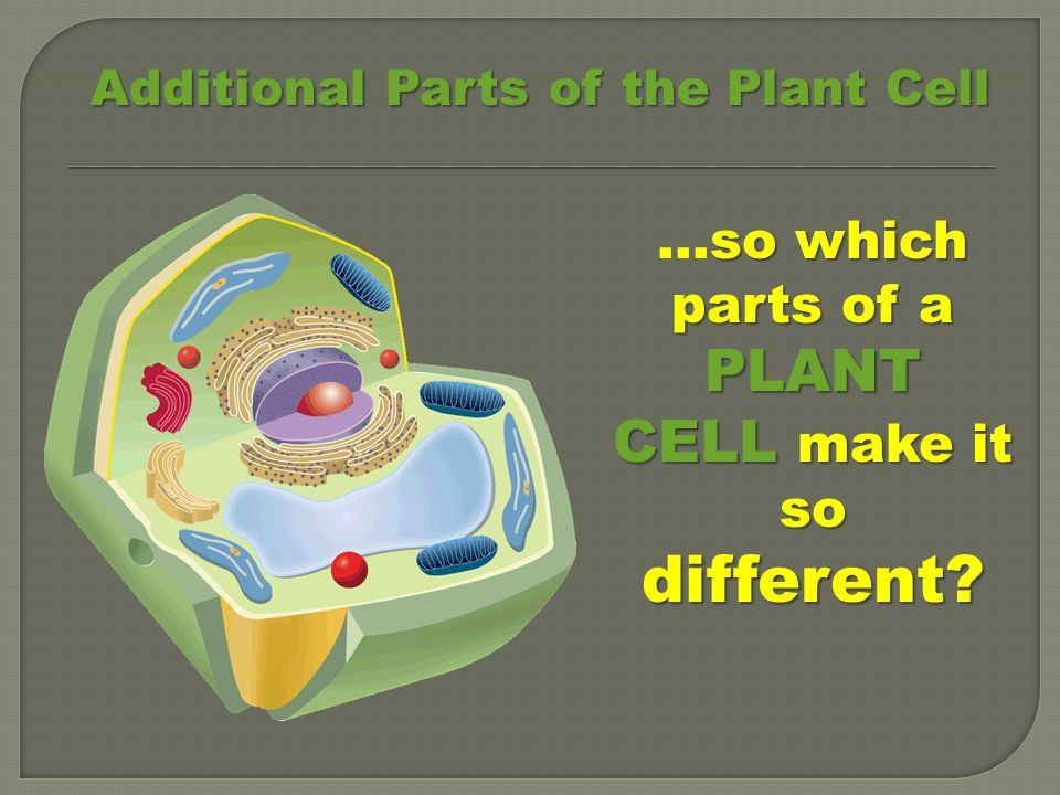 …so which parts of a PLANT CELL make it so different