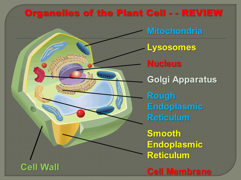 Organelles of the Plant Cell - - REVIEW