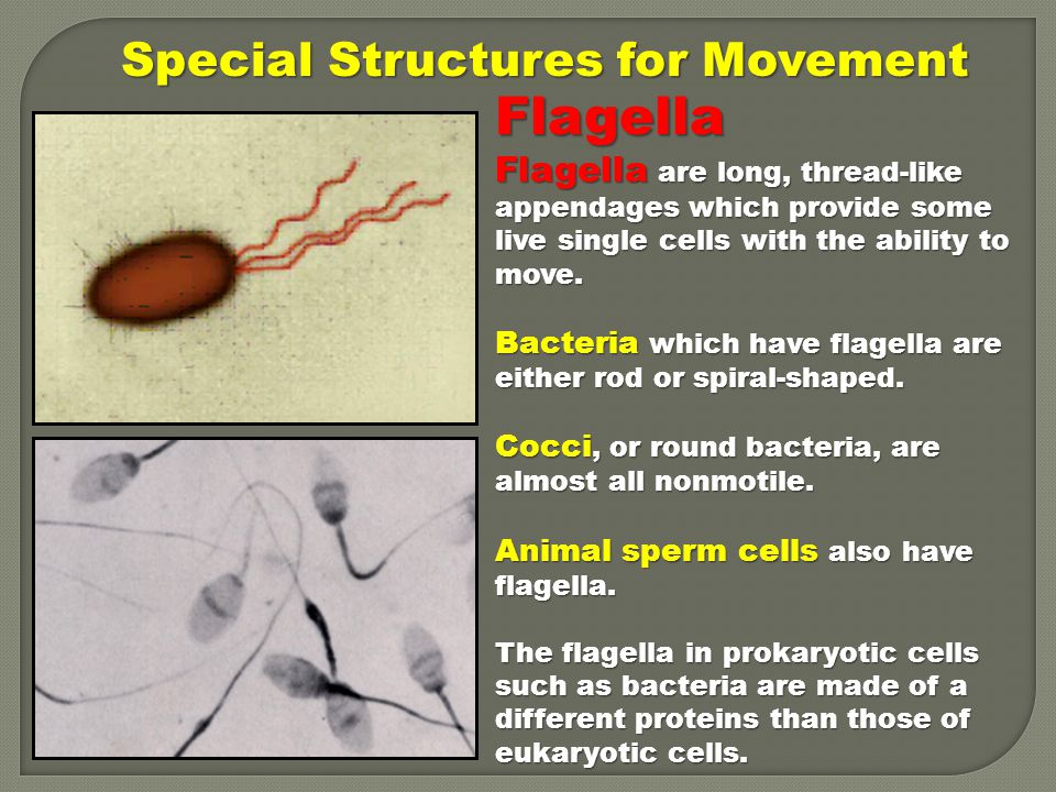 Flagella Special Structures for Movement