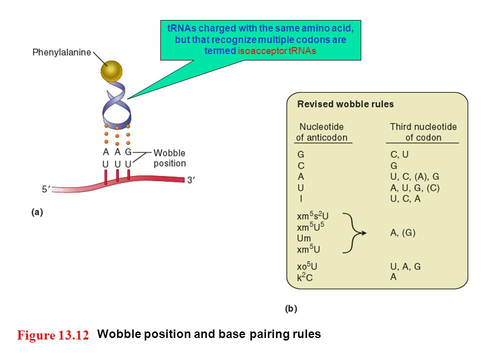 Figure 13.12 Wobble position and base pairing rules