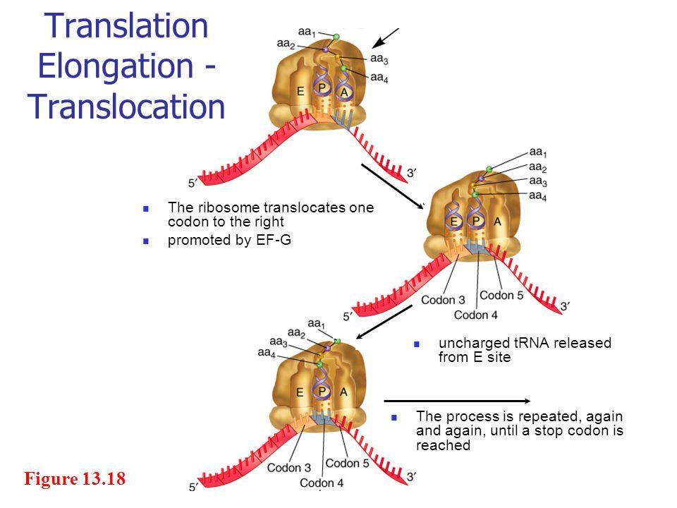 Translation Elongation -Translocation