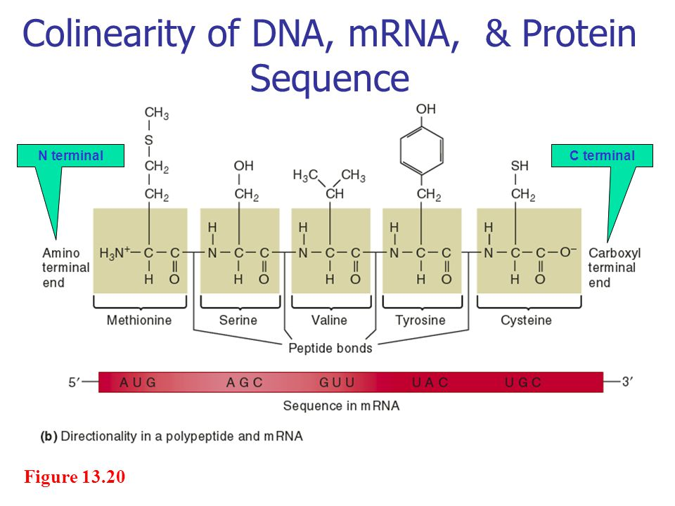 Colinearity of DNA, mRNA, & Protein Sequence