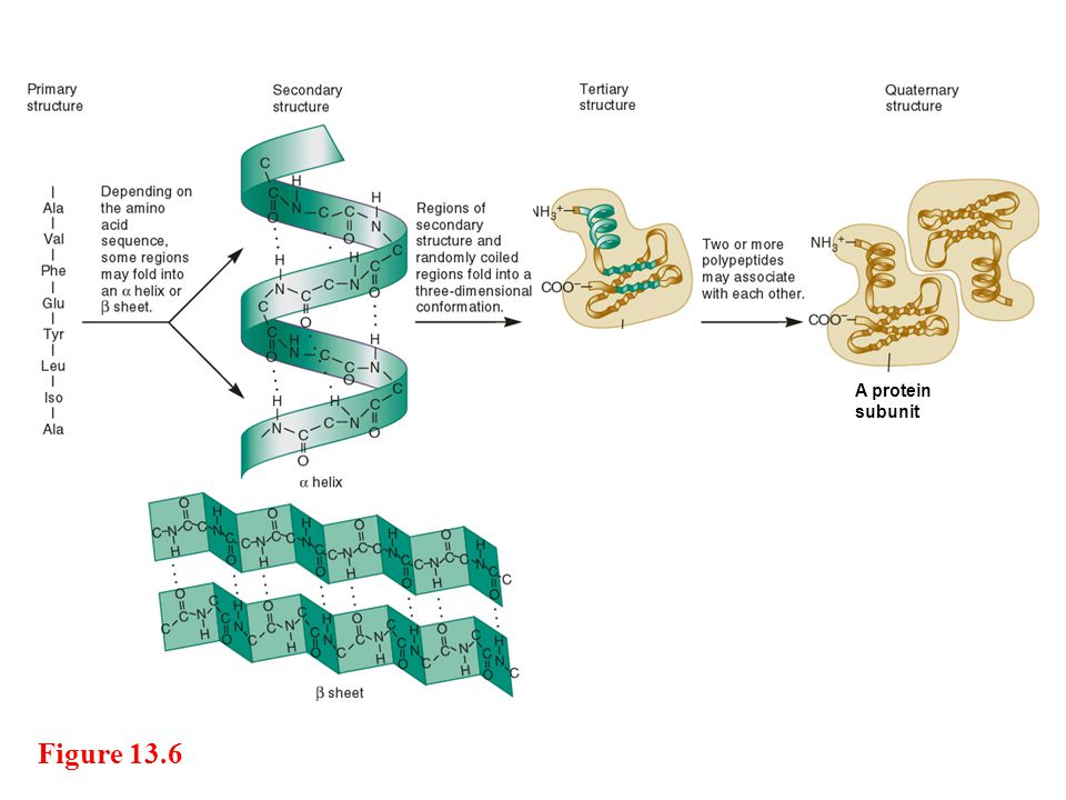 A protein subunit Figure 13.6