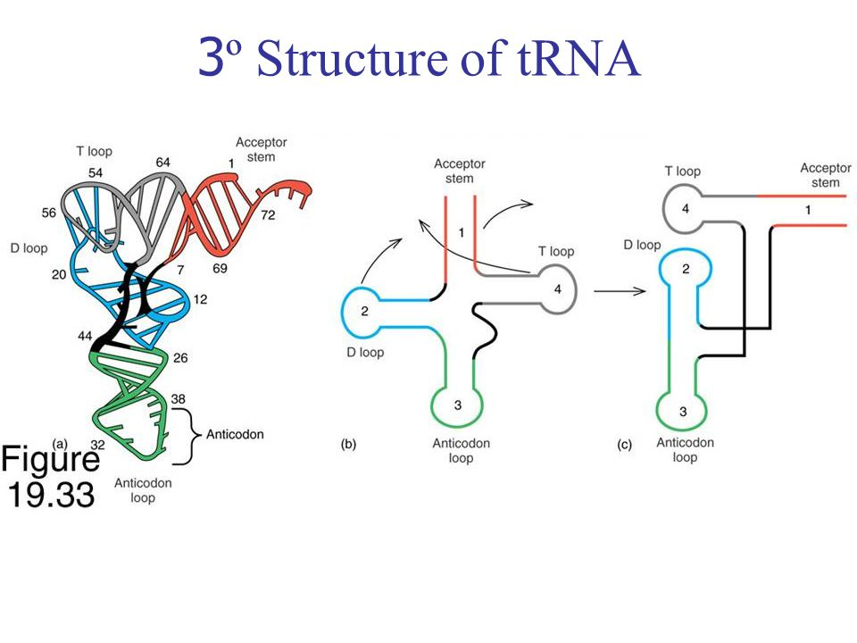3º Structure of tRNA