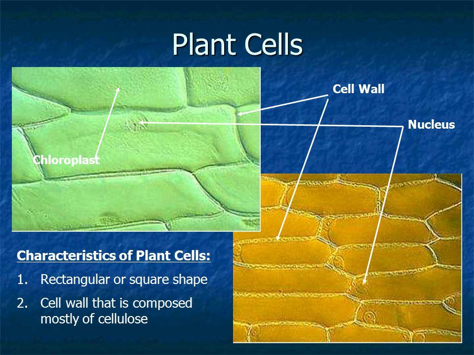 Plant Cells Characteristics of Plant Cells: