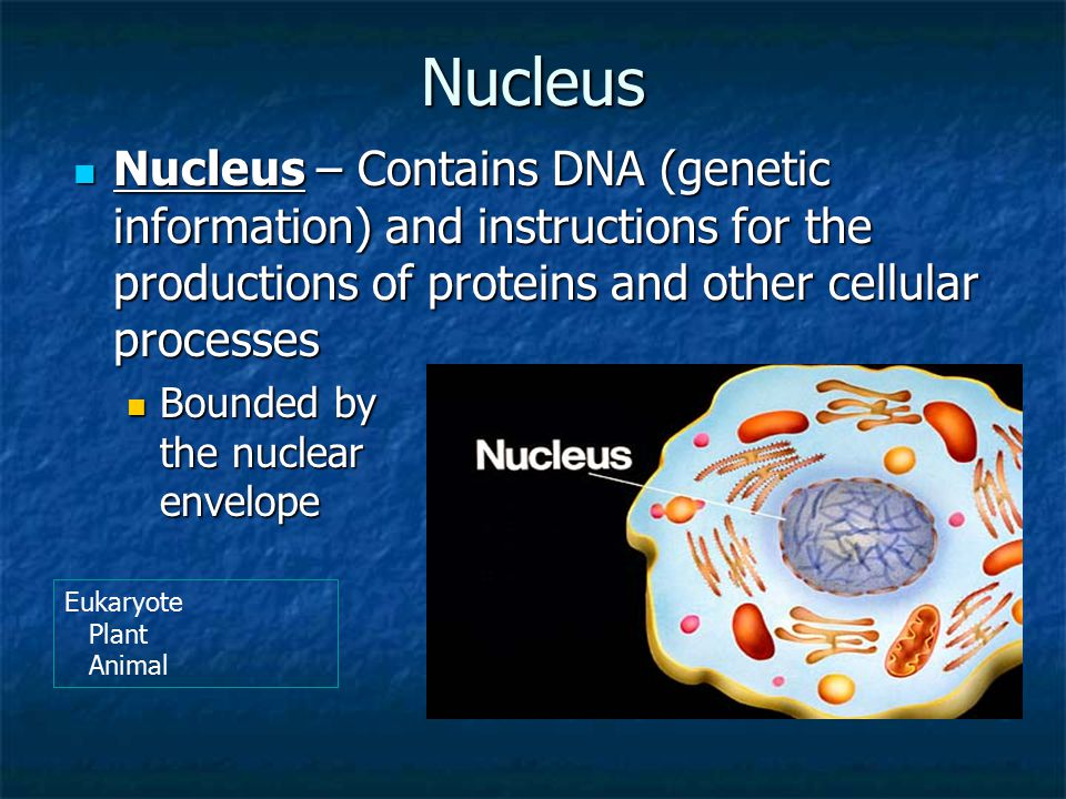 Nucleus Nucleus – Contains DNA (genetic information) and instructions for the productions of proteins and other cellular processes.
