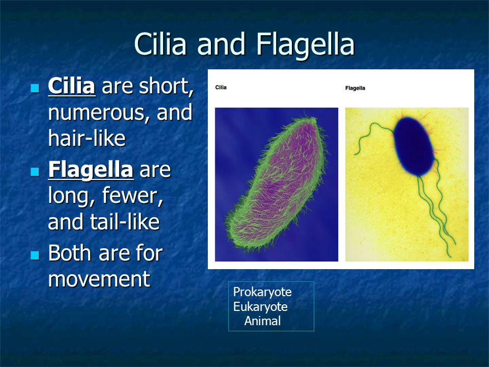 Cilia and Flagella Cilia are short, numerous, and hair-like