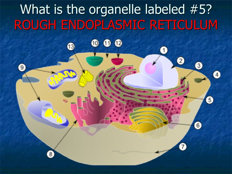 What is the organelle labeled #5 ROUGH ENDOPLASMIC RETICULUM