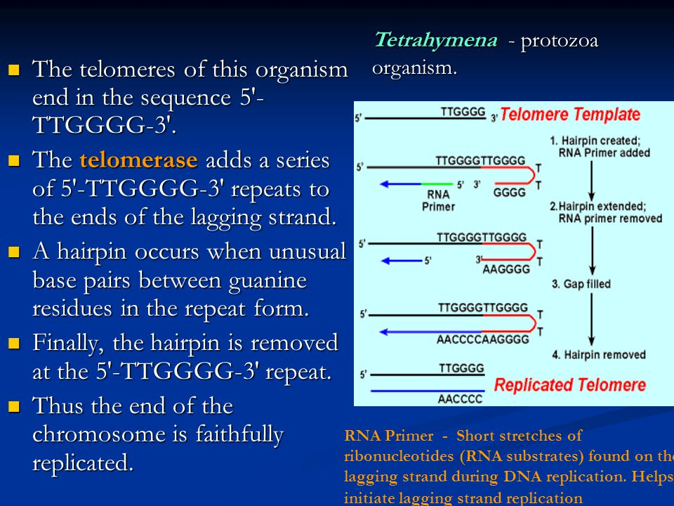 The telomeres of this organism end in the sequence 5 -TTGGGG-3 .