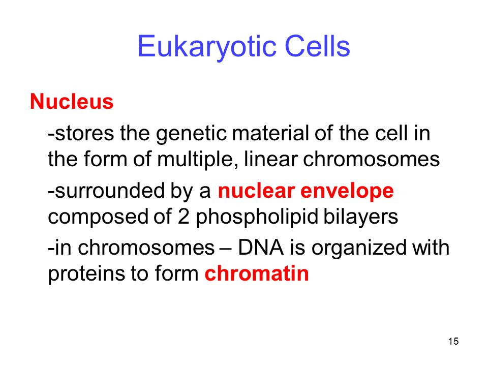 Eukaryotic Cells Nucleus