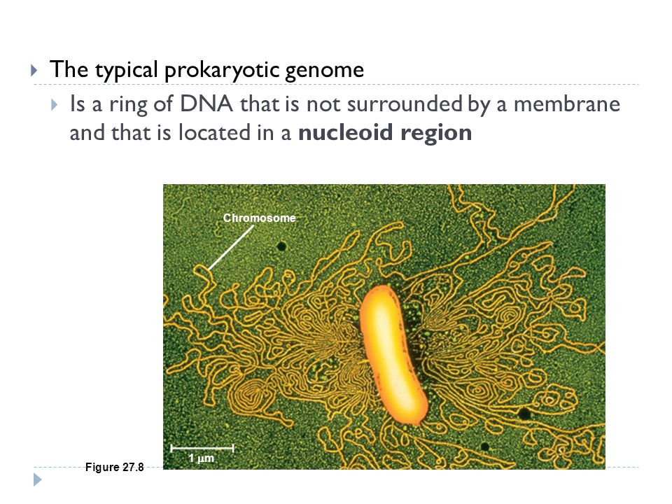 The typical prokaryotic genome