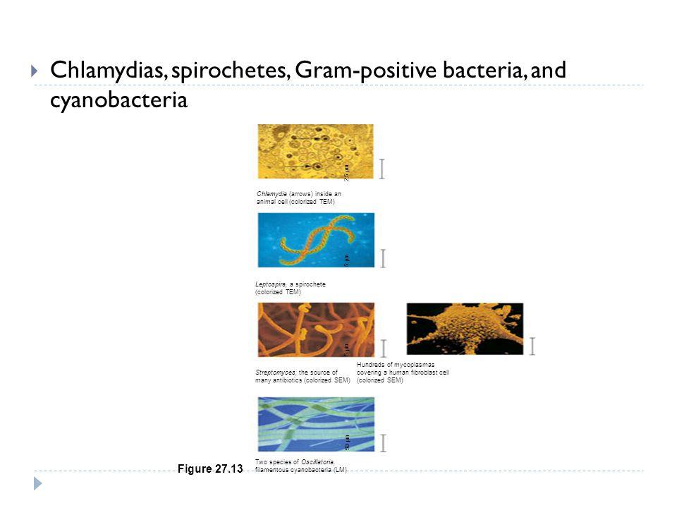Chlamydias, spirochetes, Gram-positive bacteria, and cyanobacteria