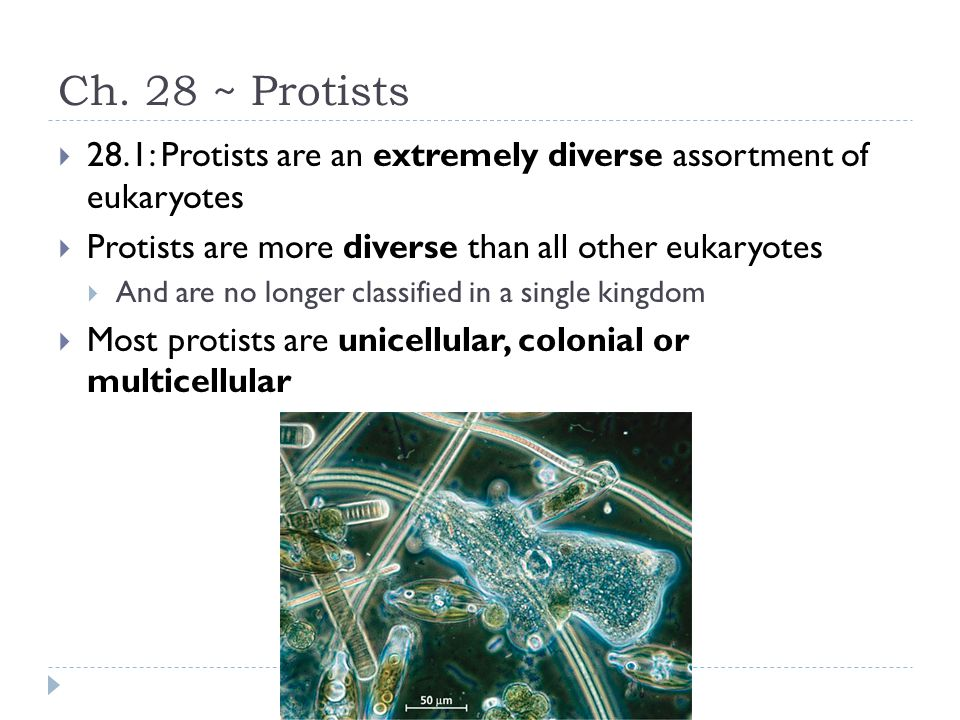 Ch. 28 ~ Protists 28.1: Protists are an extremely diverse assortment of eukaryotes. Protists are more diverse than all other eukaryotes.
