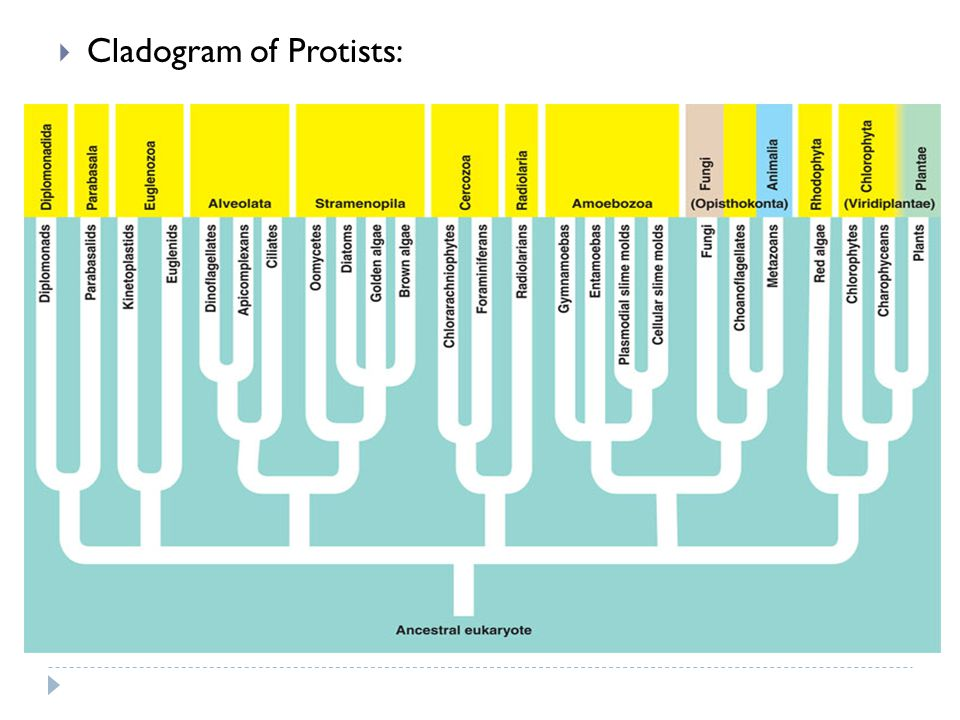 Cladogram of Protists: