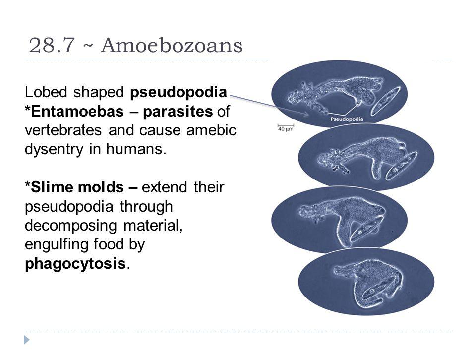 28.7 ~ Amoebozoans Lobed shaped pseudopodia