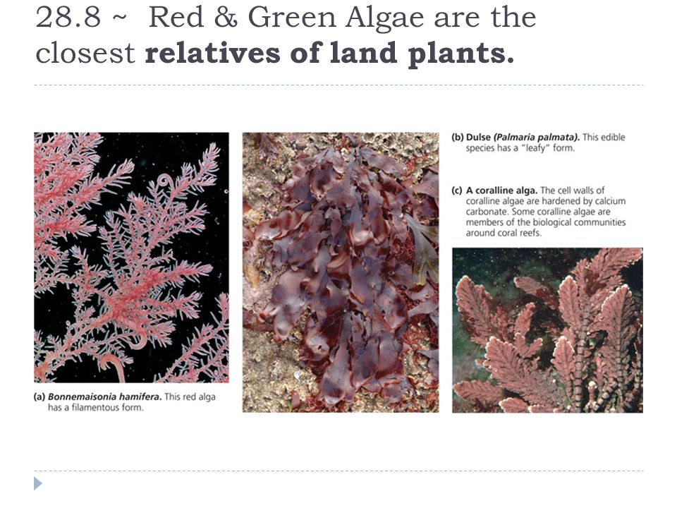 28.8 ~ Red & Green Algae are the closest relatives of land plants.
