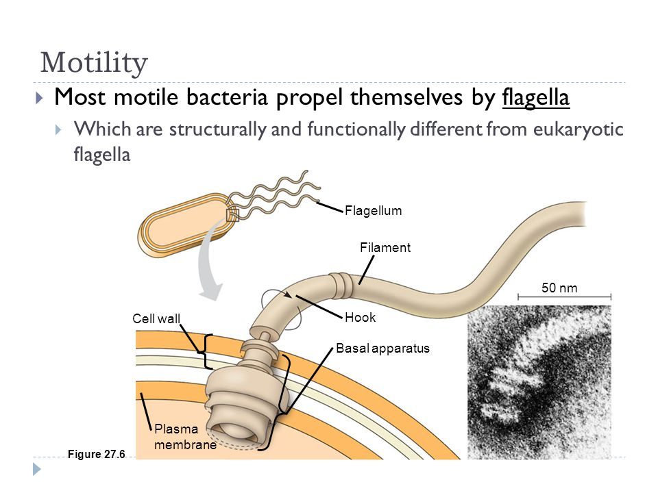 Motility Most motile bacteria propel themselves by flagella