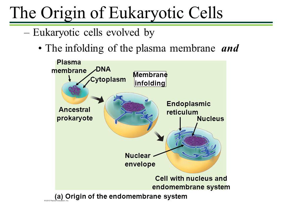 The Origin of Eukaryotic Cells