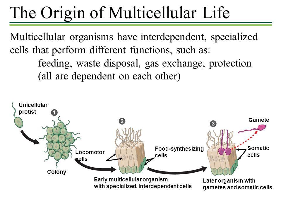 The Origin of Multicellular Life