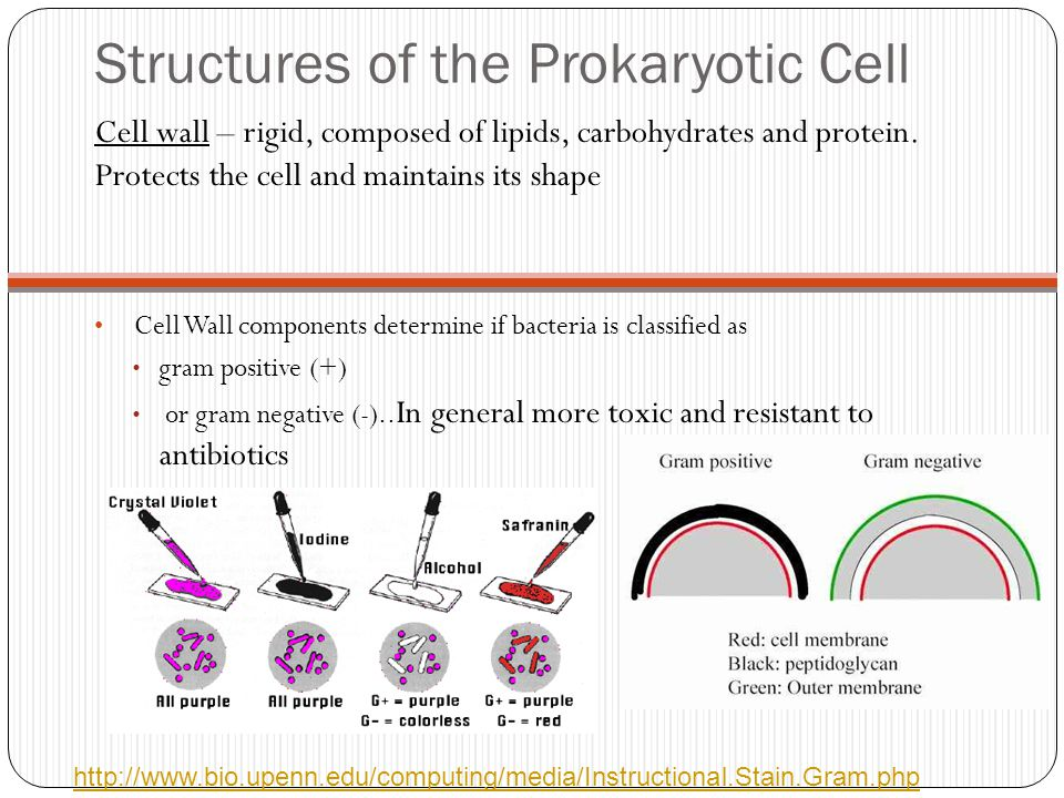Structures of the Prokaryotic Cell