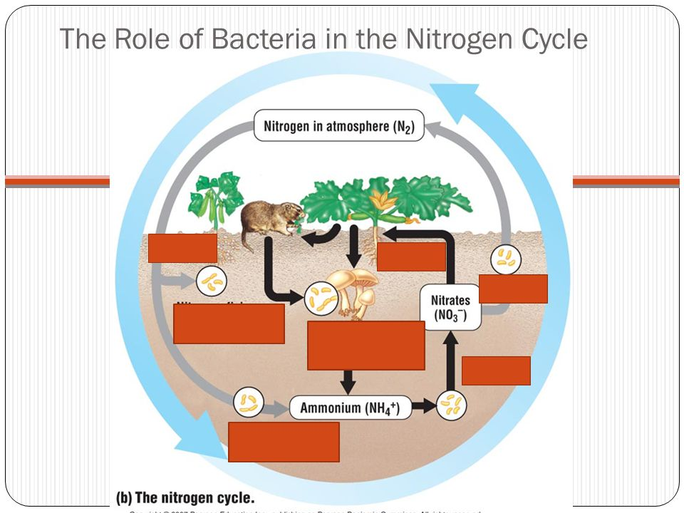 The Role of Bacteria in the Nitrogen Cycle