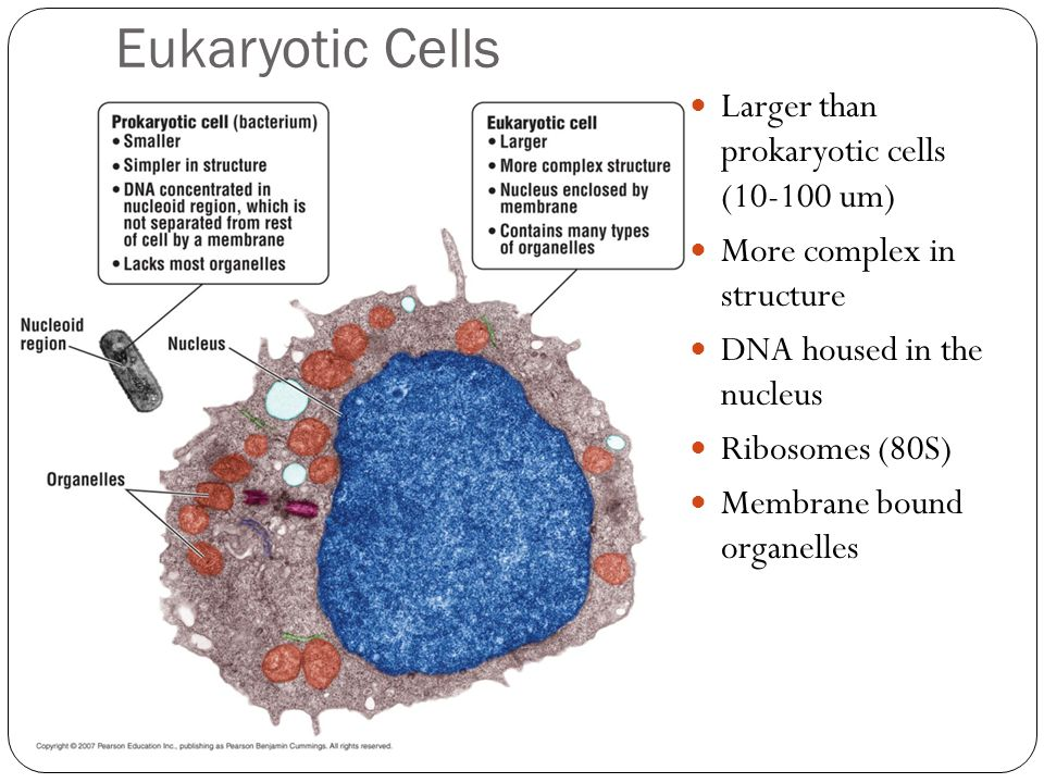 Eukaryotic Cells Larger than prokaryotic cells (10-100 um)