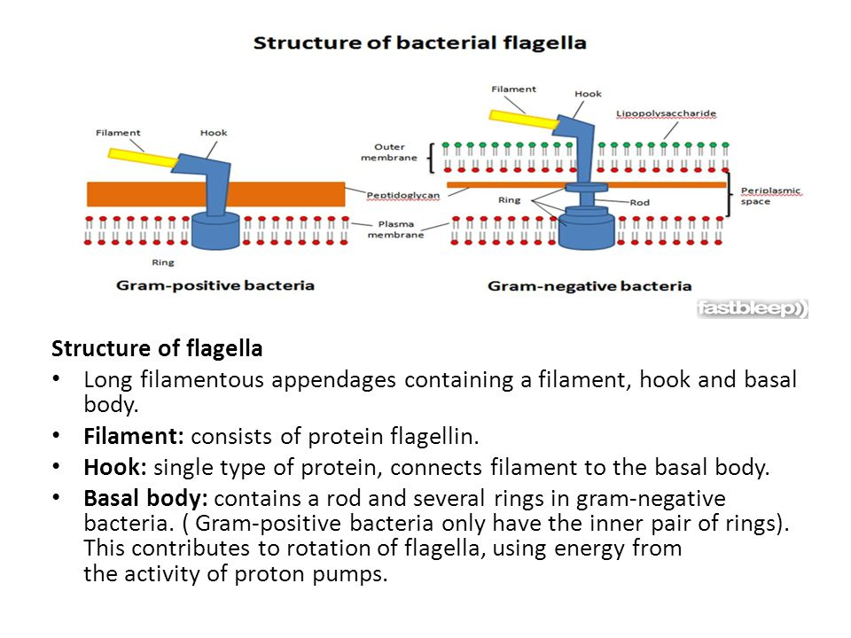 Structure of flagella Long filamentous appendages containing a filament, hook and basal body. Filament: consists of protein flagellin.