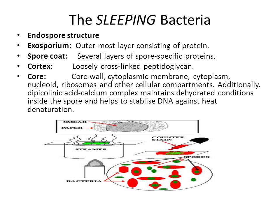 The SLEEPING Bacteria Endospore structure