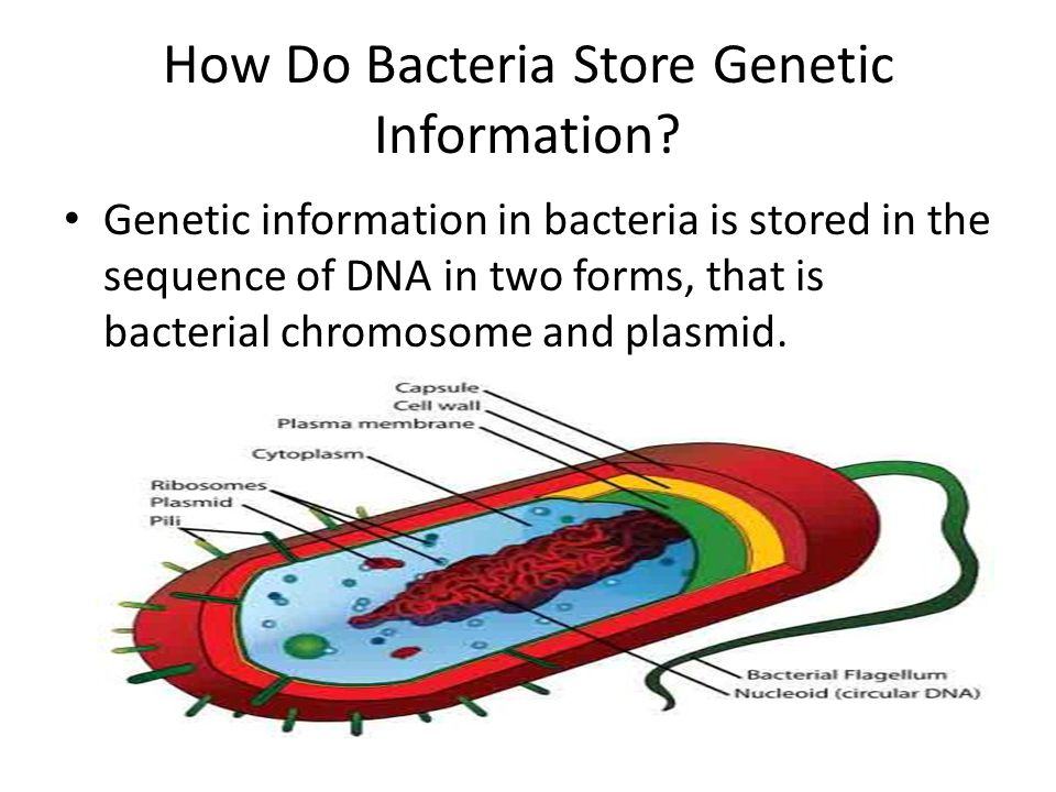 How Do Bacteria Store Genetic Information