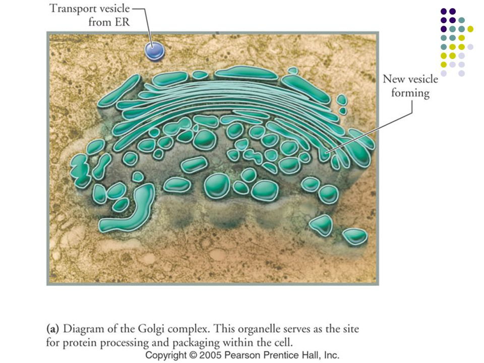 Figure: 03-15a Title: Golgi complex. Caption: