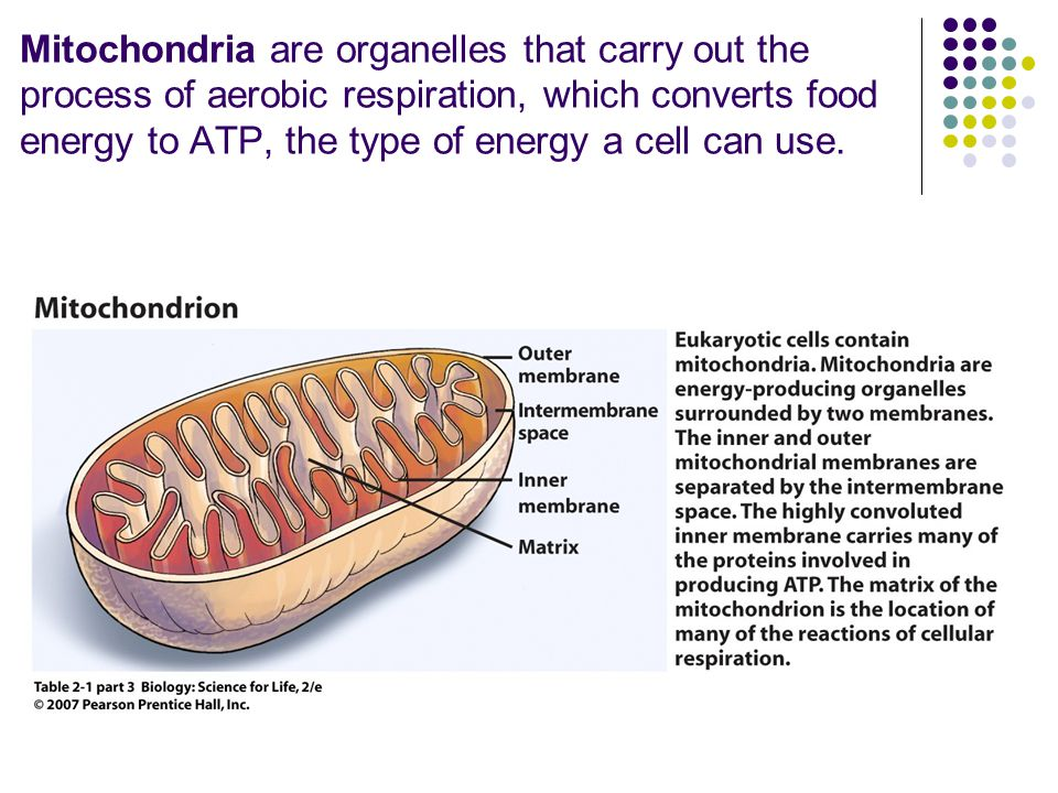 Mitochondria are organelles that carry out the process of aerobic respiration, which converts food energy to ATP, the type of energy a cell can use.