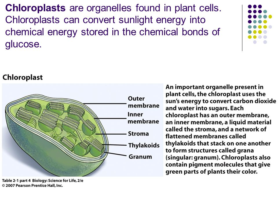Chloroplasts are organelles found in plant cells