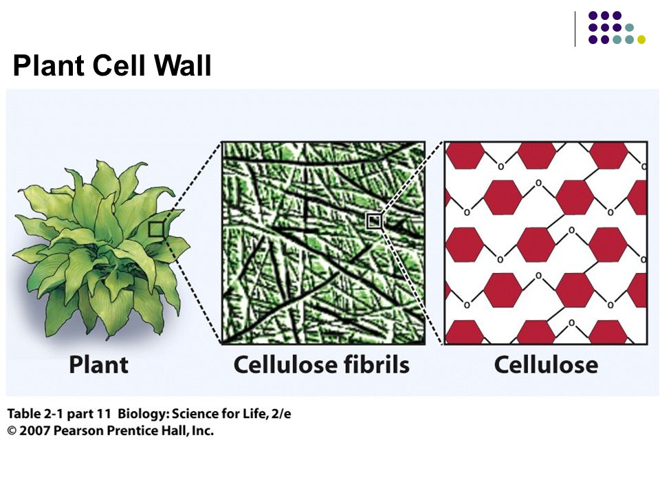 Plant Cell Wall Table 2.1 Cell components.