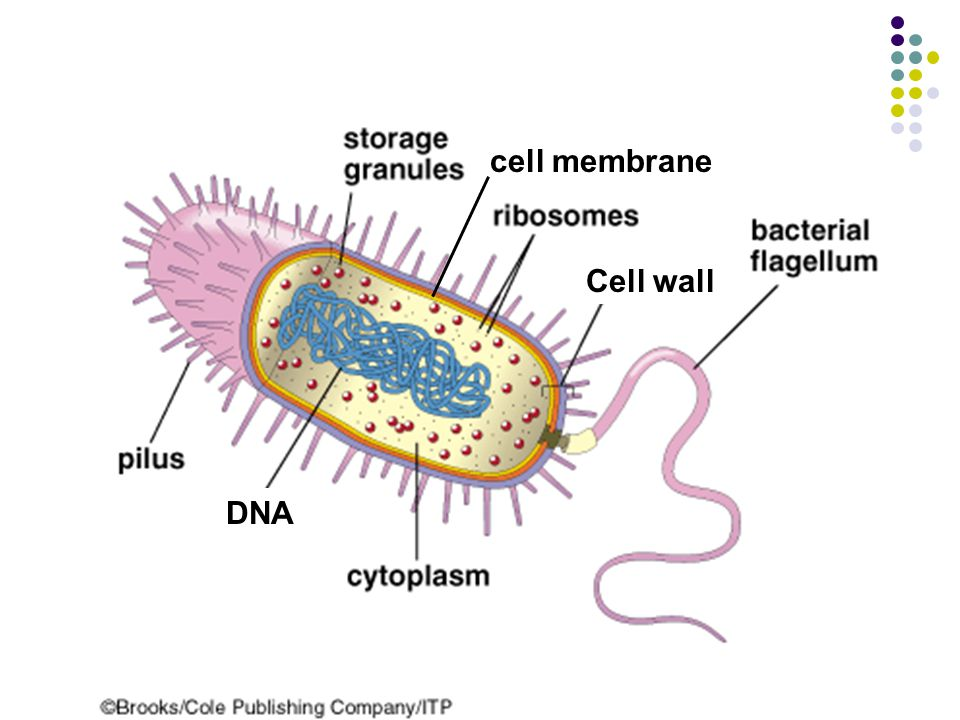 cell membrane Cell wall DNA