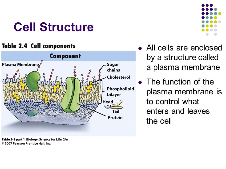 Cell Structure All cells are enclosed by a structure called a plasma membrane.