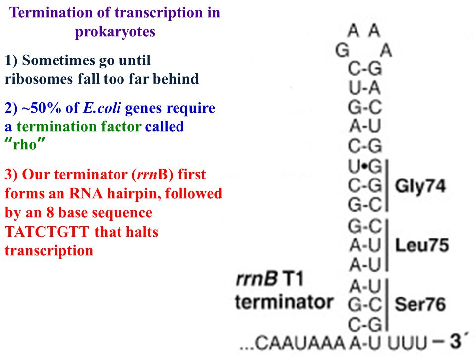 Termination of transcription in prokaryotes