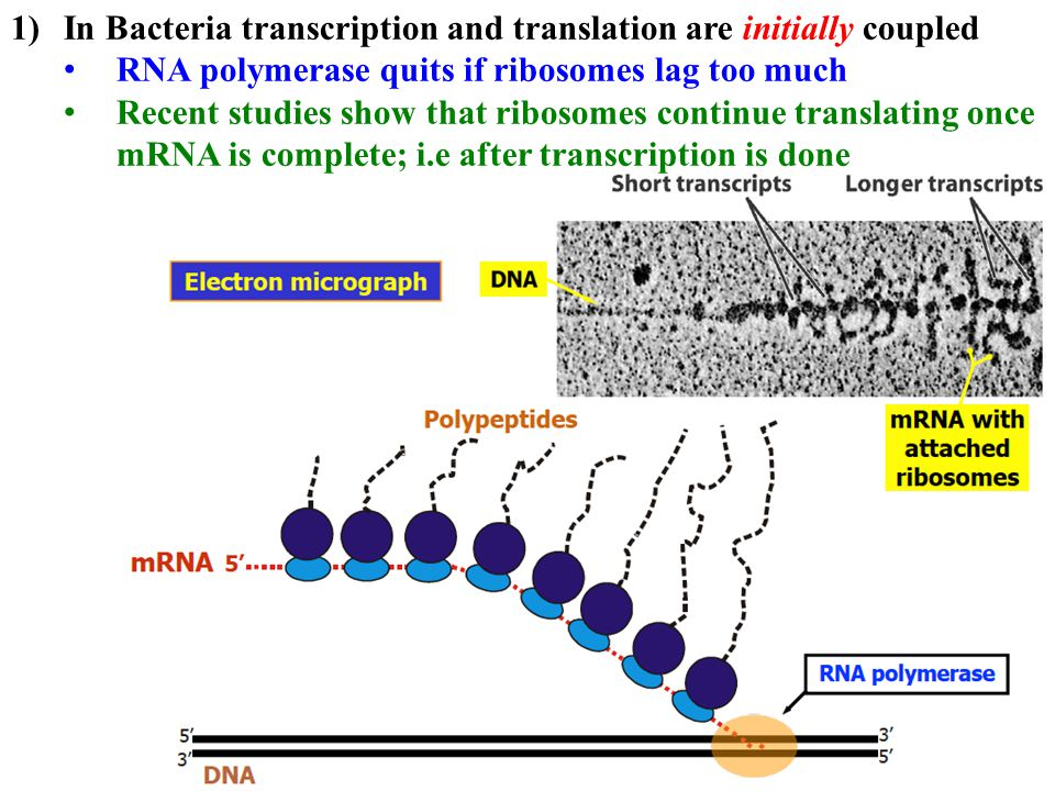In Bacteria transcription and translation are initially coupled