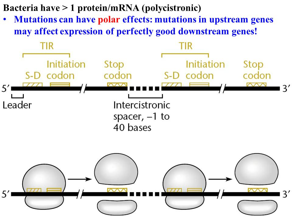 Bacteria have > 1 protein/mRNA (polycistronic)