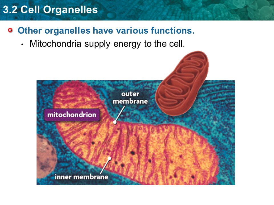 Other organelles have various functions.