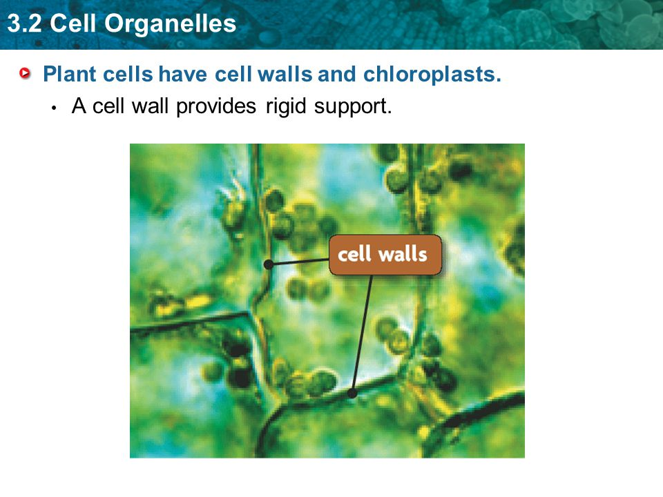 Plant cells have cell walls and chloroplasts.