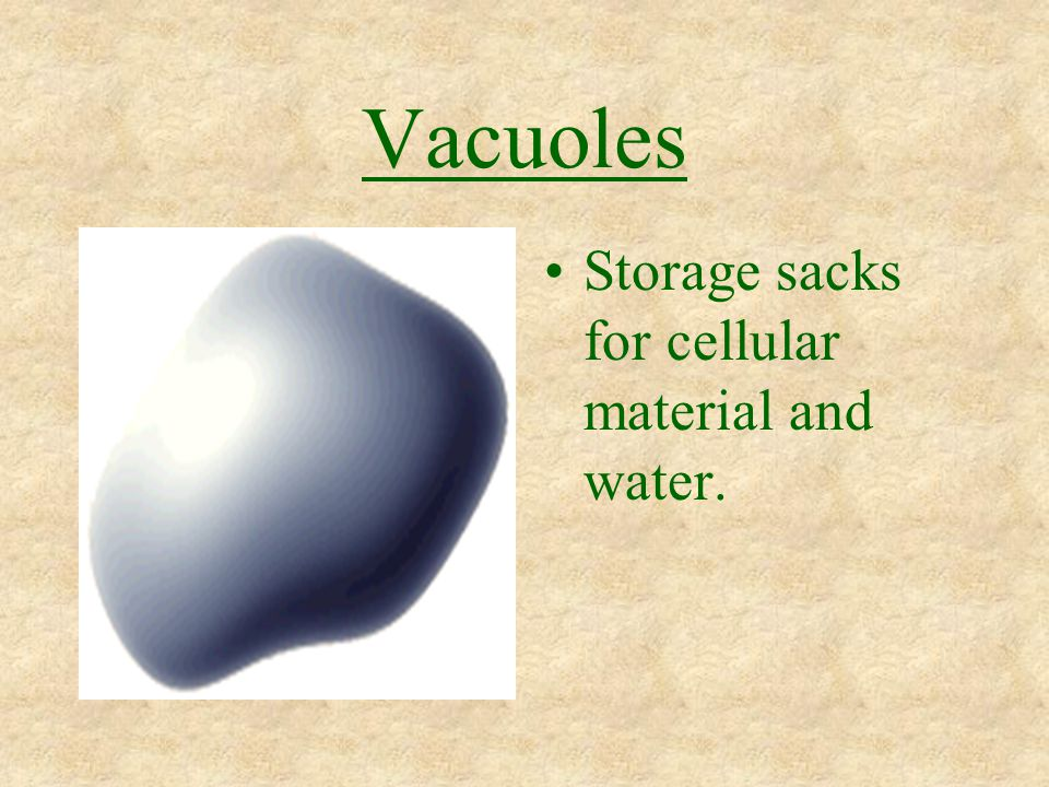 Vacuoles Storage sacks for cellular material and water.