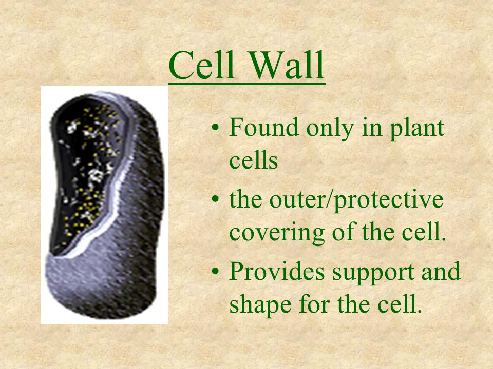 Cell Wall Found only in plant cells