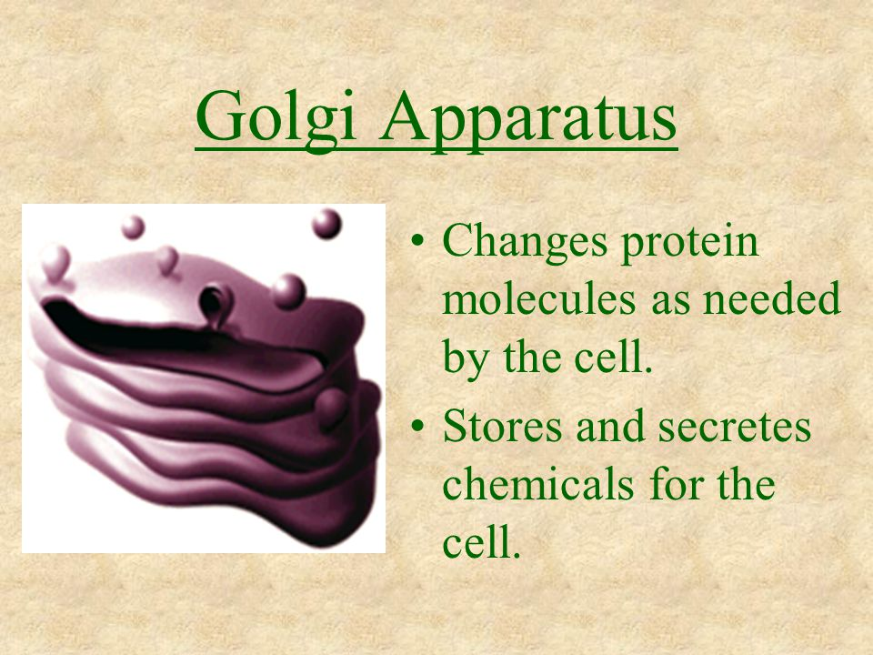 Golgi Apparatus Changes protein molecules as needed by the cell.