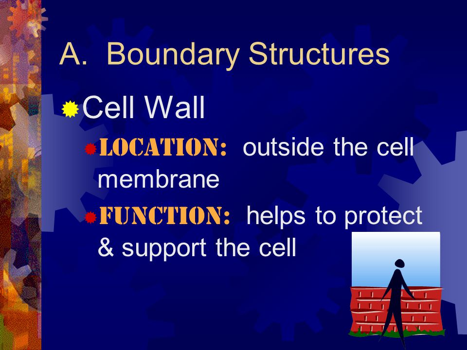 A. Boundary Structures Cell Wall Location: outside the cell membrane