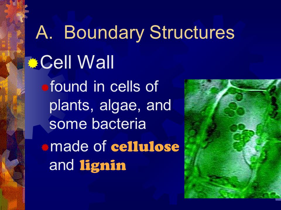 A. Boundary Structures Cell Wall
