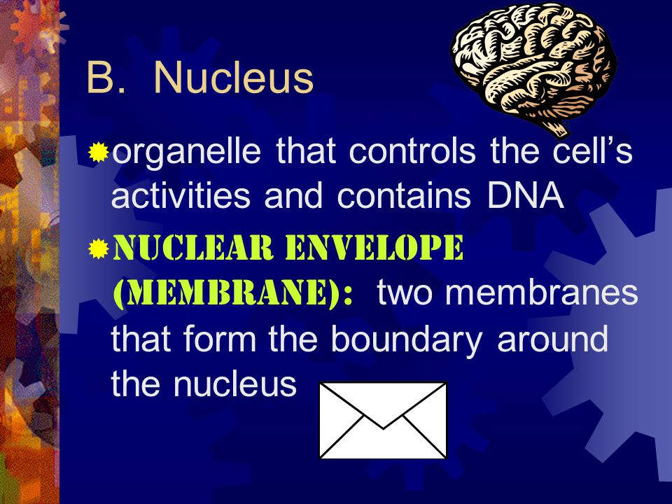 B. Nucleus organelle that controls the cell's activities and contains DNA.