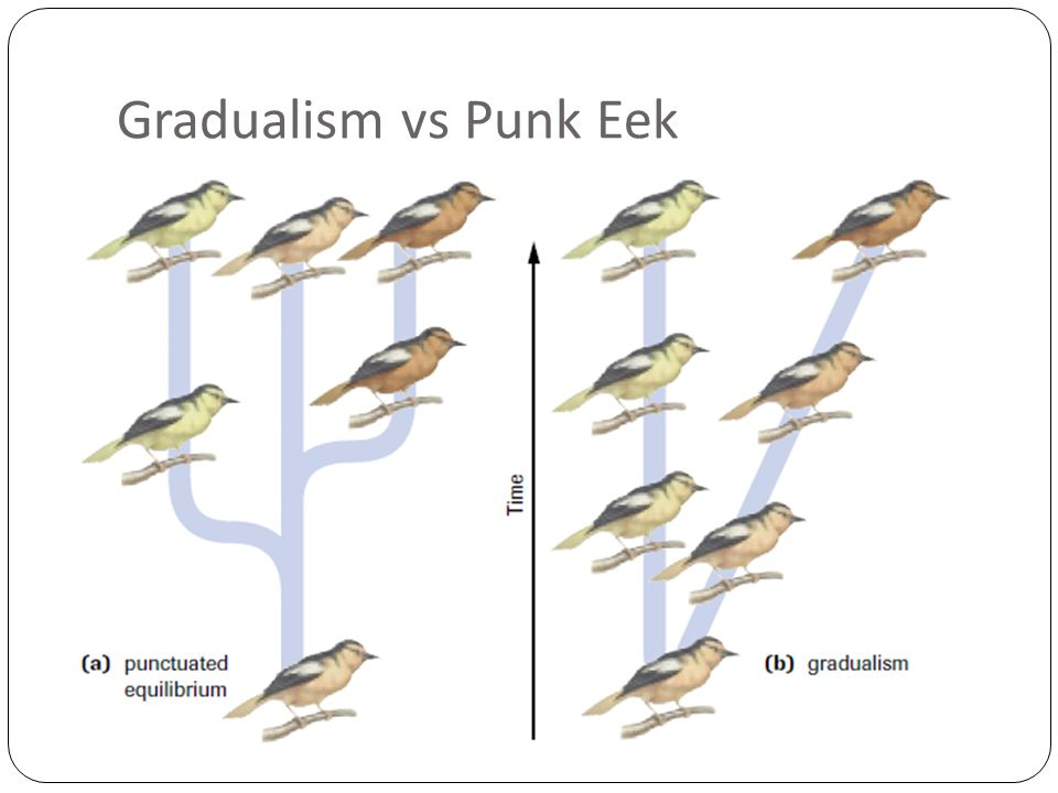 Gradualism vs Punk Eek