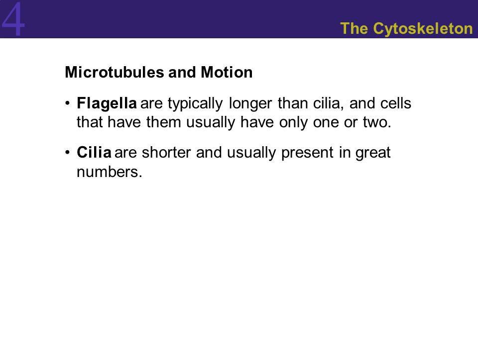 The Cytoskeleton Microtubules and Motion. Flagella are typically longer than cilia, and cells that have them usually have only one or two.