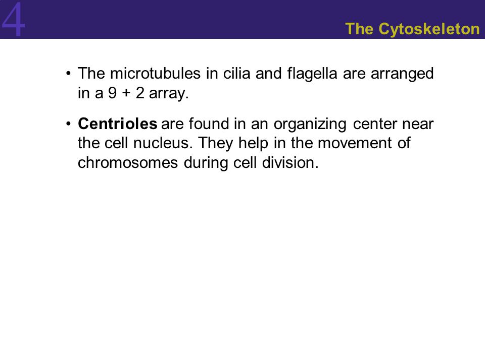 The Cytoskeleton The microtubules in cilia and flagella are arranged in a 9 + 2 array.